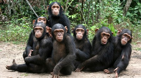 Dr-Jane-Goodall---Chimps