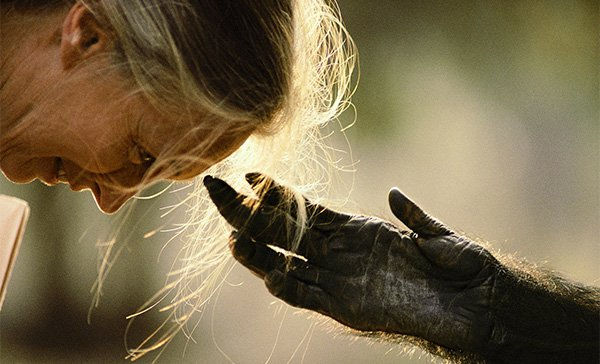Dr.-Jane-Goodall-chimp-hand-reaching-out
