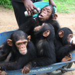 Dr. Jane Goodall | Chimp Guardian Campaign: Tchimpounga Chimpanzee Rehabilitation Centre