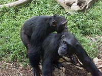 Jane Goodall Institute Australia Apes Social Behaviour