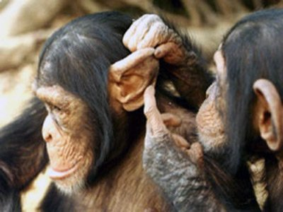 Jane Goodall Institute Australia Apes behaviour