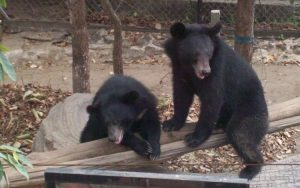 Bears safe in sanctuary, Cambodia - by Robyn Hittman
